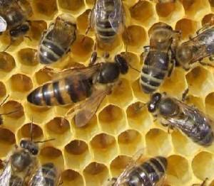 reine_d_abeilles
